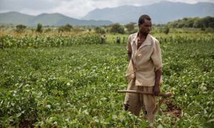 Soybean farmer in Malawi