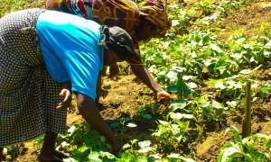 Kenyan women farmers in the field.