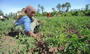 New agricultural knowledge can help farmers adapt to climate change