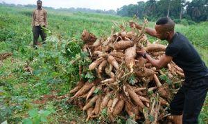 Harvesting vitamin A cassava in Nigeria.