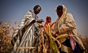 Farmers inspect failed crops in Senegal.