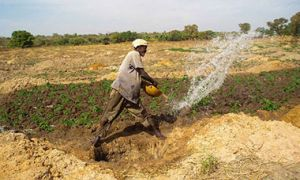 Man tosses water from vessel onto field of vegetables