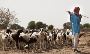 Shepard stands with flock of goats in a dry landscape