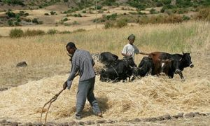 Two young men threshing cereals with bulls near Lalibela, Ethiopia.