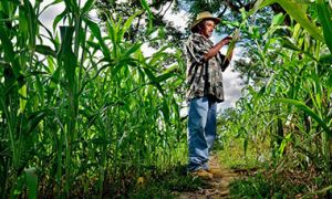 Honduran farmer checks his sorghum crop