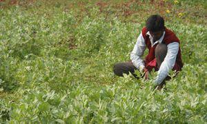 Farmer in potato field in Nalanda District of Bihar, India.