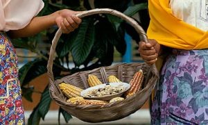 Closeup of basket with corn, arms of two women holding basket