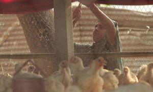 A successful woman chicken farmer in Bangladesh