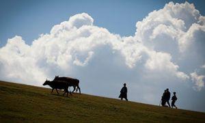 Cattle and herders in Uzbekistan.