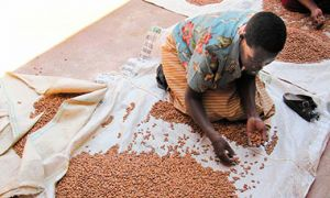 Woman examines and sorts iron beans in Rwanda