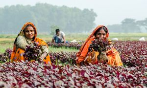 Two women collect leafy vegetables in Khulna, Bangladesh, 2014