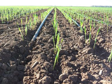 Drip irrigation in Obregon, Mexico