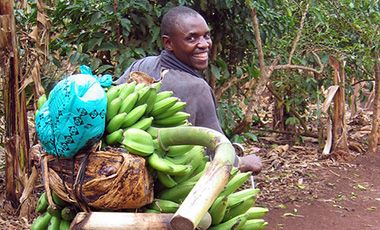 Farmer transports bananas to market on a bicycle in Uganda